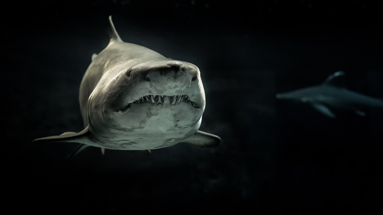 Sharks Swimming with MGTOW Mindframe